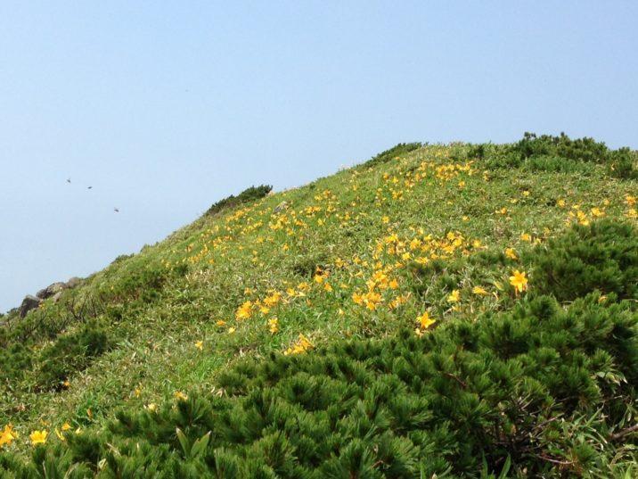 アンヌプリ山頂の花